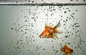article-new_ehow_images_a07_rj_7v_kind-fish-cleans-goldfish-aquarium-800x800
